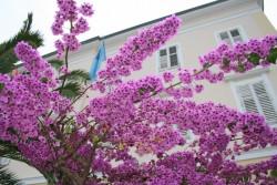 Цветущие бугенвиллии в Мали Лошине